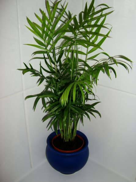 Chamaedorea-elegans-parlour-palm-L3