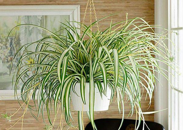 spider-plant-xlorofito